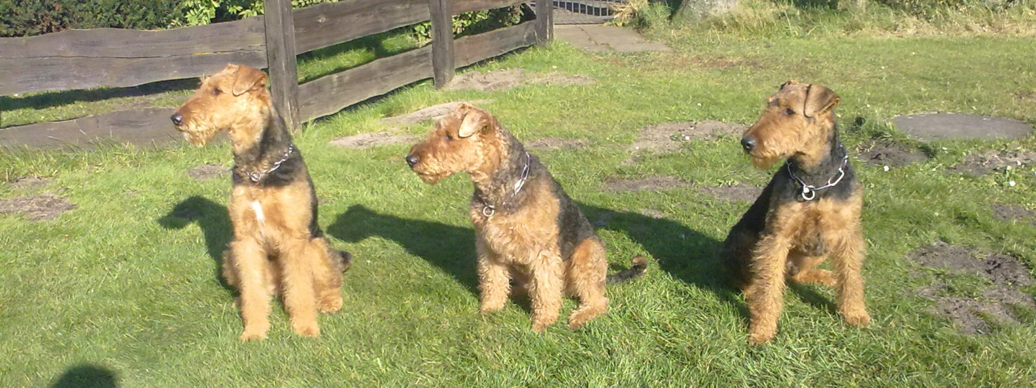Airedale Terrier Tom Kyle